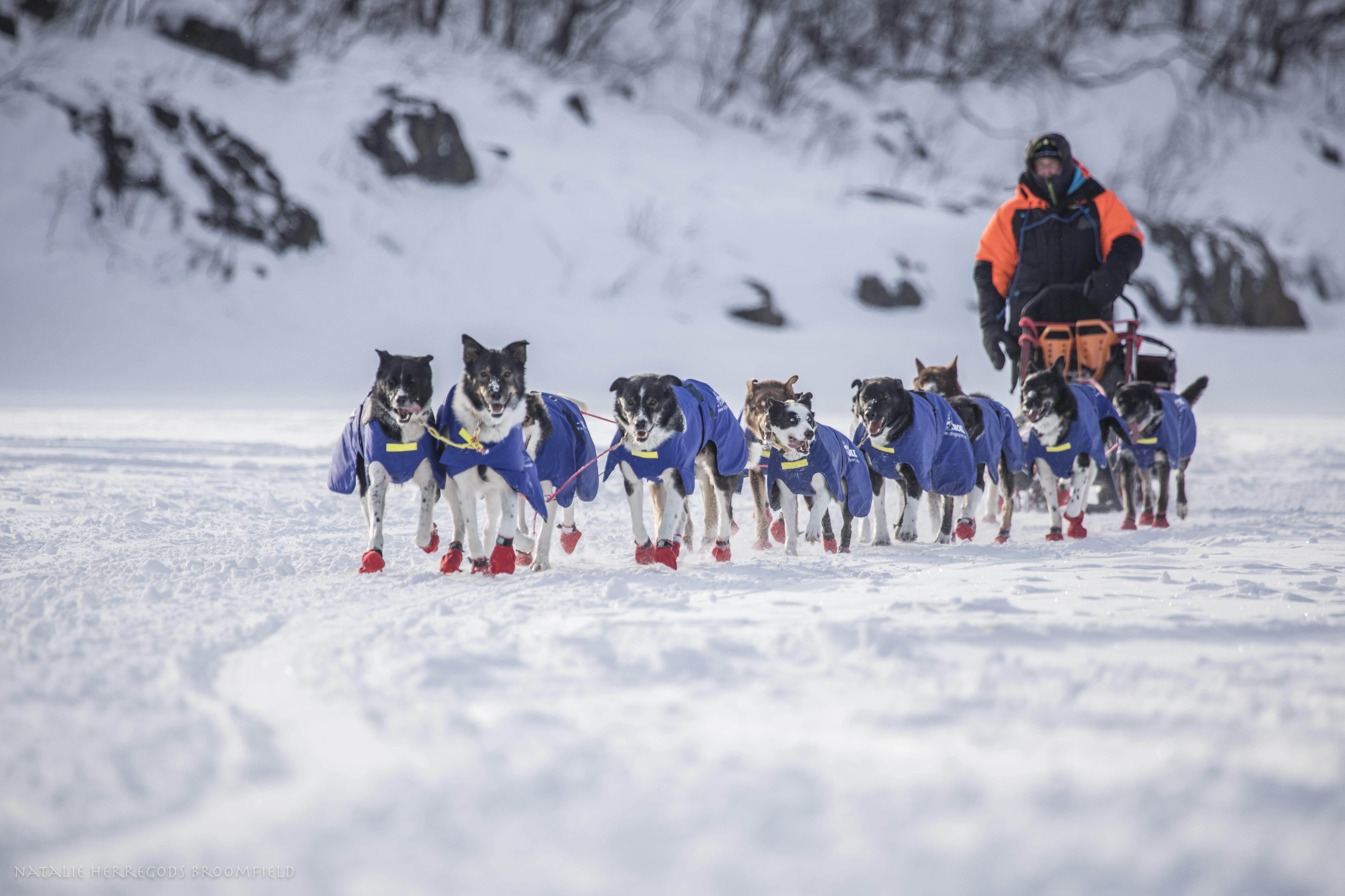 Løpssesong for Sledehund